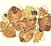how to kill bedbugs