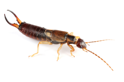 how to kill earwigs