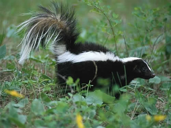 how to kill a skunk