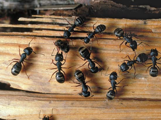 how to kill carpenter ants